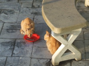 ginger cats at pool 1