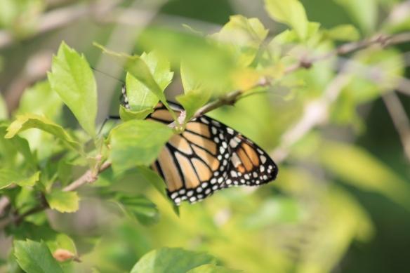 monarch IMG_2069 (2)
