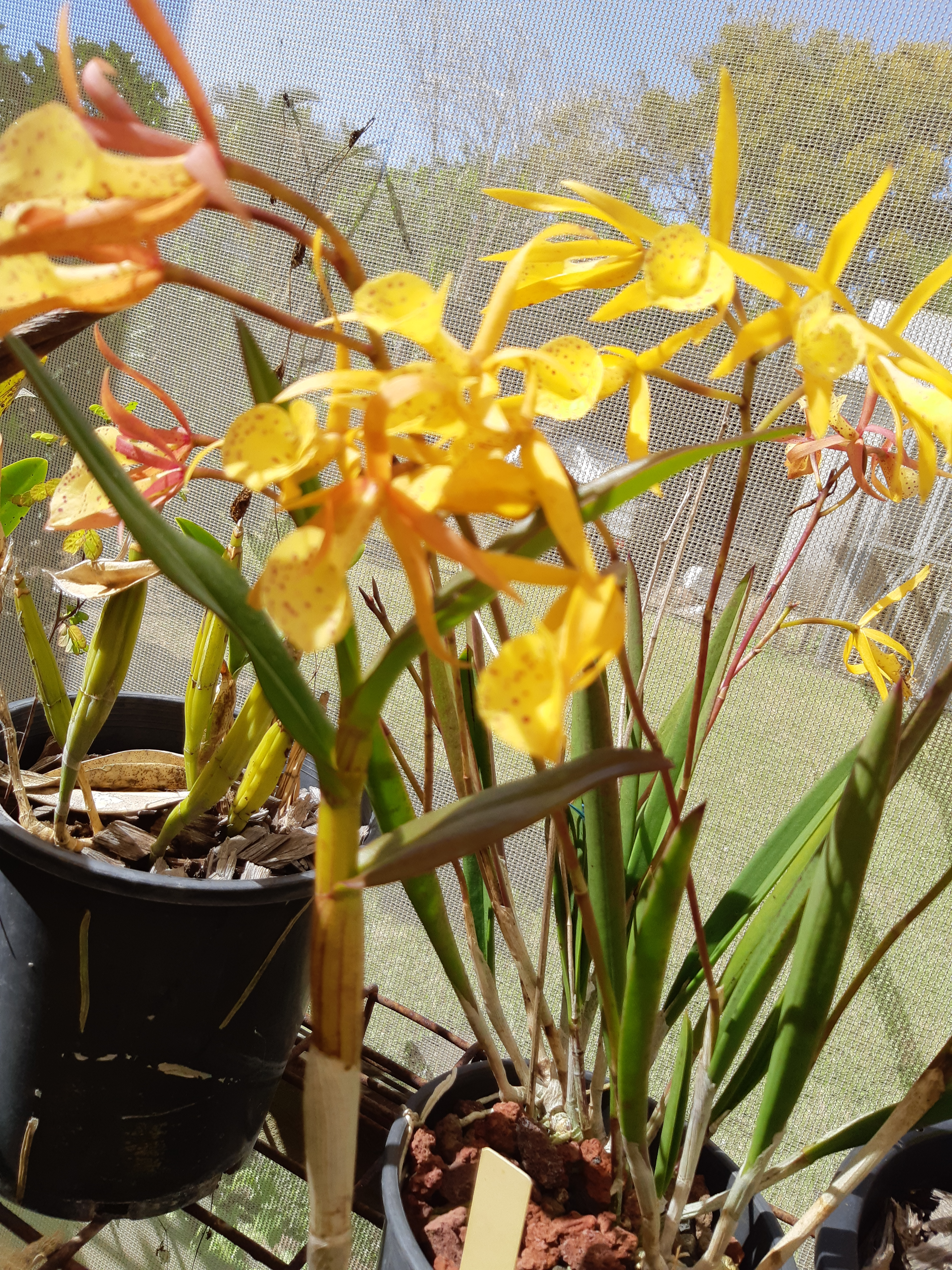 Brassocatleya.jpg